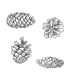 Detailed of a pine cone vector