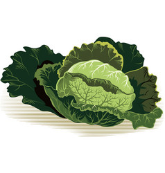 Savoy cabbage vector