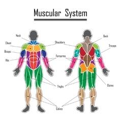 Human muscular system vector