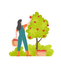 Female gardener picking apples putting in baskets vector