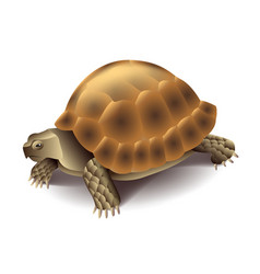 Turtle isolated on white vector image