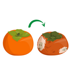 Fresh sweet persimmon becomes rotten and bad vector