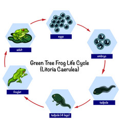green tree frog life cycle vector image