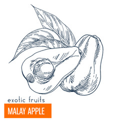 Malay apple hand drawn vector