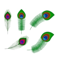 Peacock plume feathers vector