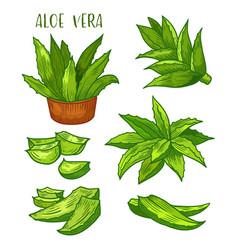 Aloe vera plant leaves sketch line icons vector