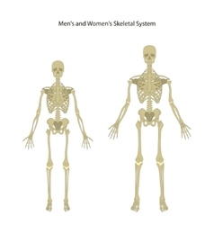 Male and female skeleton Front view vector image vector image