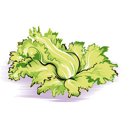 Escarole salad plant vector