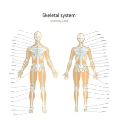 Anatomy guide Male and female skeleton with vector image