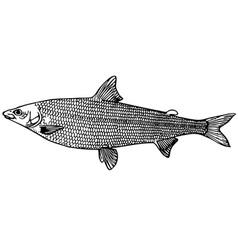 fish coregonus salmon vector image