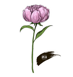 Pink peony colored sketch vector