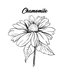 Chamomile flower hand drawn vector