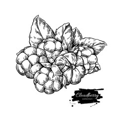 Cloudberry drawing organic berry food vector