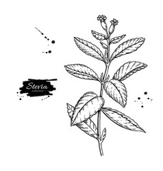 Stevia flower drawing herbal sketch of vector