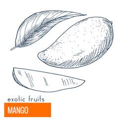 mango hand drawn vector image