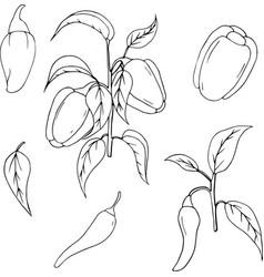 hand drawn vegetable set of bell pepper vector image