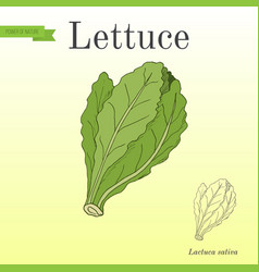 Salad lettuce series of vegetables and vector