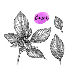 Basil ink sketch vector