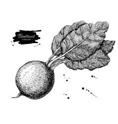 Beenroot hand drawn Vegetable engraved vector image
