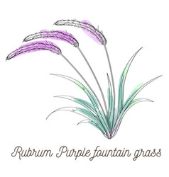 rubrum purple fountain grass on white background vector image vector image