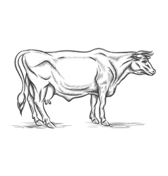 Engraving cow hand drawn vector