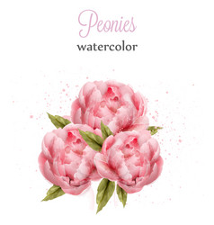 watercolor pink peonies isolated beautiful vector image