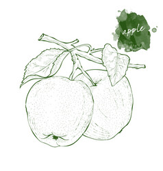 two apples on a branch with leaves hand drawn vector image