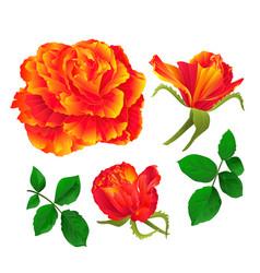 Flower orange rose and buds vintage vector