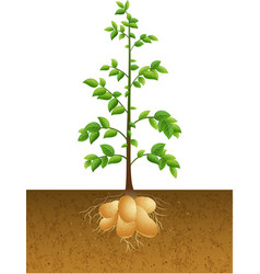Potatoes plant with root under the ground vector