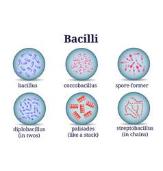 Arrangements of bacillus in petri dish vector