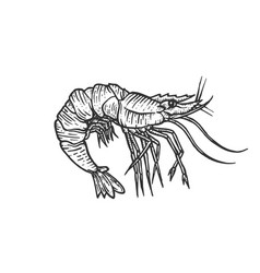 shrimp sea animal engraving vector image