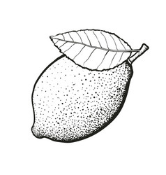hand drawn whole lemon with leaf vector image