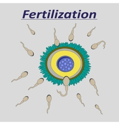 a female egg fertilization sperm vector image