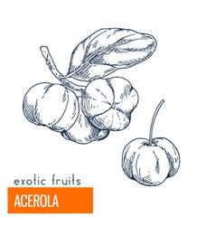 acerola hand drawn vector image vector image