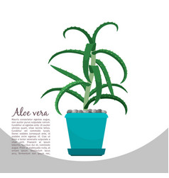 Aloe vera plant in pot banner vector