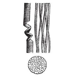 Striped muscular fiber vintage vector