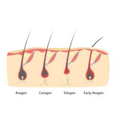 human head hair growth cycle in cut vector image
