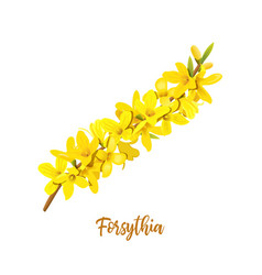 forsythia suspensa easter tree spring branch vector image