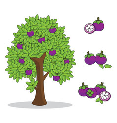 mangosteen on tree with white background vector image