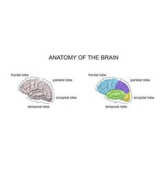 anatomy of the brain vector image