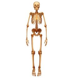 Human skeletal system vector image