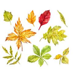 maple rowan oak birch leaves isolated on white vector image