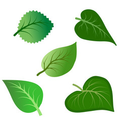 set various green leaves isolated on white vector image