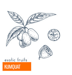 kumquat hand drawn vector image vector image