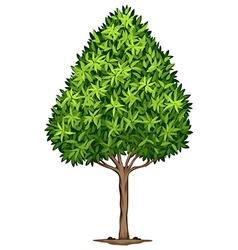 A Elaeocarpus Decipiens plant vector