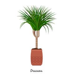 dracaena plant in pot vector image