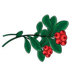 branch red lingonberry with green leaves vector image