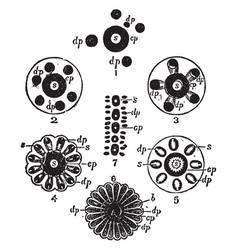 Stylasteridae vintage vector