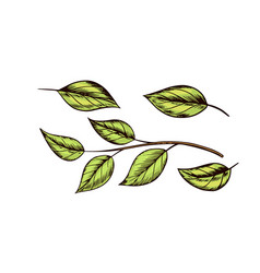 whiskey leaves plant for making vintage strong vector image