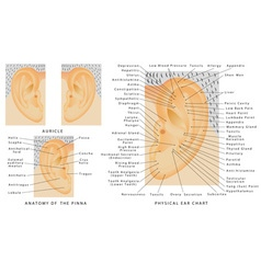 Auricle vector image